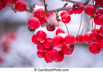 Berries in the White Snow - Red berries hanging on tree...