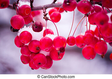 Berries in the White Snow - Red berries dusted with freshly...