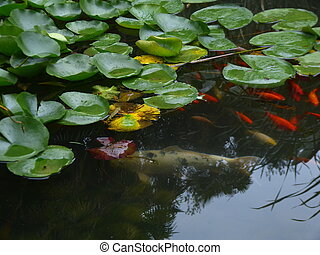 Water Lilies and Koi - A large white koi fish in a pond with...