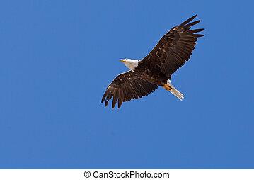 鷹,  Haliaeetus, 禿頭, 高飛, 成人,  Leucocephalus