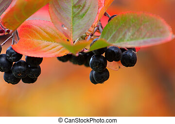 rowanberry - scene fruits ripe rowanberry on branch...