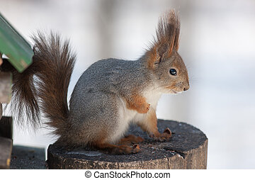 squirrel on a tree stump - portrait of a squirrel sitting on...