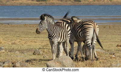 Plains Zebras - Interacting plains (Burchells) Zebras (Equus...