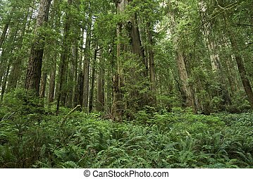 Ferns Forest Forest Landscape - Northern California, USA...