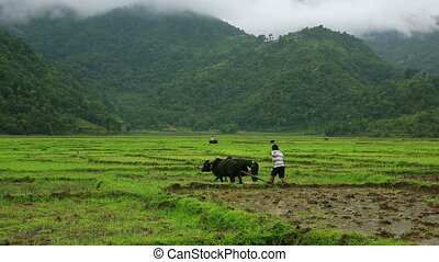 Man ploughing in rice paddy using oxen, Pokhara, Nepal