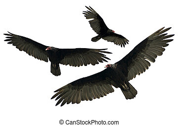 Turkey Vulture Isolated on White. Three Different Turkey...