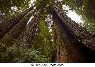 Coastal Redwood Forest - Northern California State, USA...