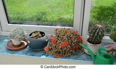 gardener watering cactus - Gardener woman watering cactus...