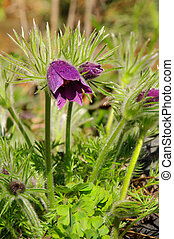 pasque flower 03
