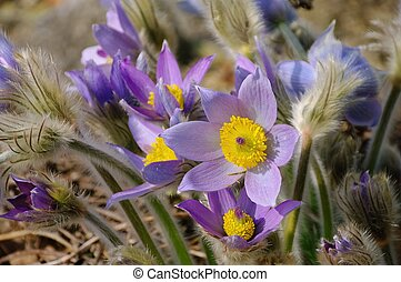 pasque flower 17