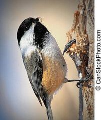 Chickadee - Chickadee
