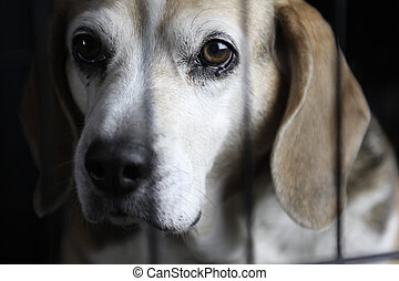 Lonely Beagle In Kennel - A beagle sitting behind a cage...