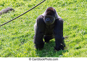 Silverback - Alpha male of the western lowland gorilla...