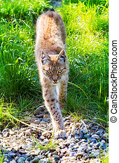 The Eurasian Lynx - Beautiful Eurasian lynx Lynx lynx on a...