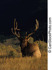 Bull Elk Bedded - a big 6-point bull elk bedded in meadow