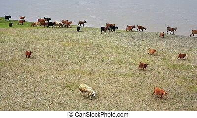 Animals grazing on river bank - Animals grazing on green...