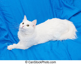 White fluffy cat with yellow eyes lying on blue chair