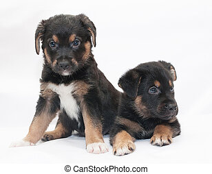 Two black puppy with red spots and white legs sit and look...