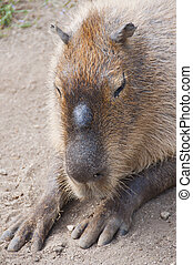 CAPIBARA Hydrochaerus hydrochaeris - The capybara is the...