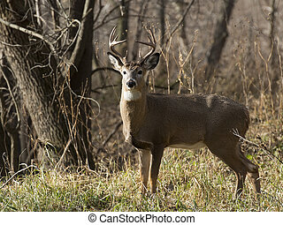 Large Buck - A large Buck looking at you