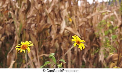 Dry Corn with Yellow Flowers Dolly - Dolly shot of yellow...