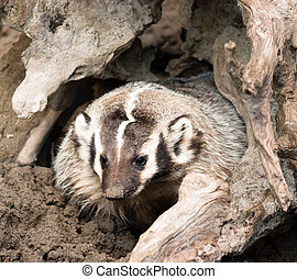 North American Short Legged Badger Emerging from Safety -...