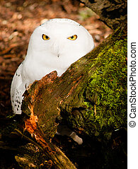 Snowy Owl Large Yellow Eyed Wild Bird Prey Species - Snowy...