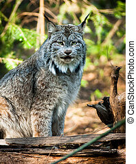 Wildcat Lynx Medium Sized Wild Animal Cat Genus Felis - A...