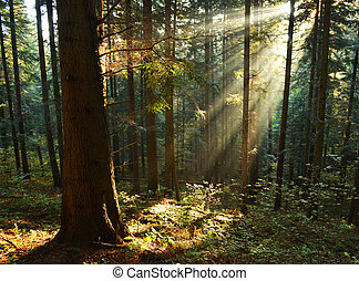 Autumn forest - Beautiful autumn dawn in pine forest