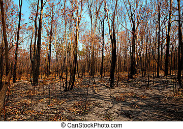 Blackened trees and bushland after bushfire - Blackened...