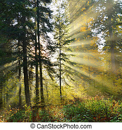Autumn forest - Beautiful autumn dawn in pine forest -...
