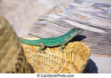 Formentera lizard Podarcis pityusensis formenterae in a...