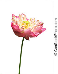 Pink water lily flower lotus and white background The lotus...