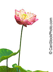 Pink water lily flower (lotus) and white background. The...