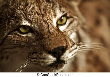 Lynx Taxidermy - Hunter Exposition. Lynx Head Closeup