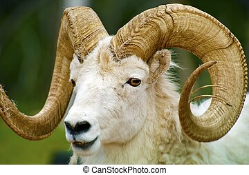 Dall Sheep Closeup The Dall Sheep, Ovis Dalli, is a Species...