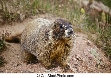 Whistle Pig - Marmot - Colorado Mountains Colorado, USA Wild...