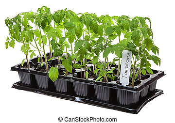 Tomato seedling - Young tomato seedling in container...
