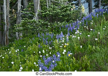 Northwest Wildflowers - Northwest Blue Wildflowers. Olympic...