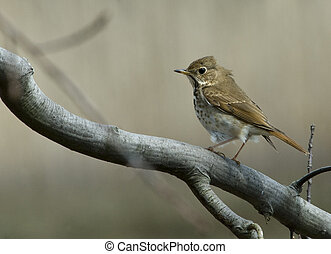Hermit Thrush perched on a branch against neutral background