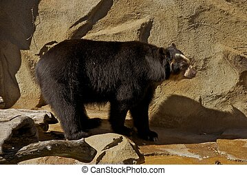 Andean Bear - The Andean Bear in a Zoo. Andean Bear Can Be...