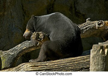 Sleeping Malayan Bear - Sleeping Malayan Sun Bear Bear...