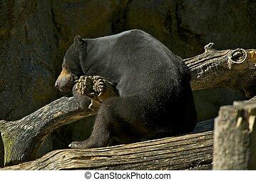 Sleeping Malayan Bear - Sleeping Malayan Sun Bear. Bear...