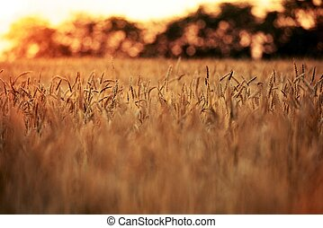 Wheat Fields by Telephoto. Wheat Fields - Agriculture...