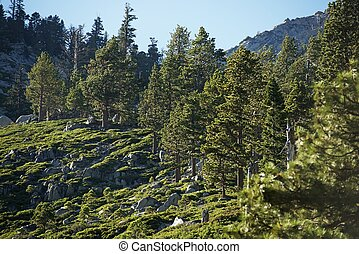 Sierra Nevada Forest in California, USA Nature Photo...