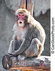 Japanese macaque - Angry male Japanese macaque looking...