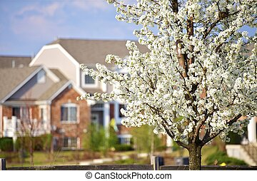 Blossom Trees in the City. Wild American Plum Tree Blossom...