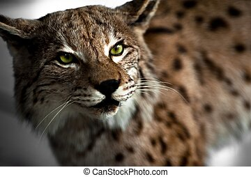 Lynx Taxidermy - Wild Lynx Hunter\'s Exposition.