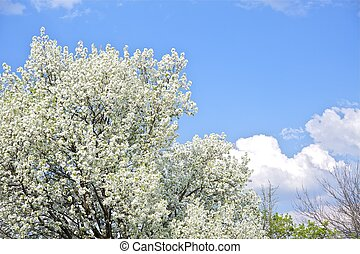 Flowering Trees - Spring in the Garden. Wild Plums Blossom...