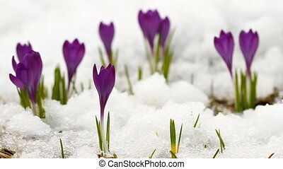 Beautiful spring crocuses in the snow